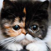 скрин игры Экзотические кошки